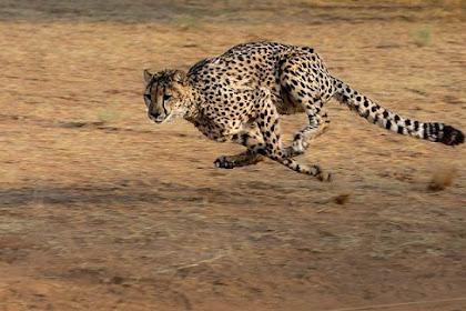 Pernah Dengar Suara Cheetah ? Pemangsa Ini Tidak Mengaum