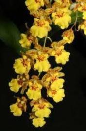 Oncidium (golden shower)