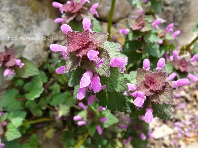 http://ilnomedeifiori.blogspot.com/2014/04/minuscoli-fiori-rosa-nel-prato.html