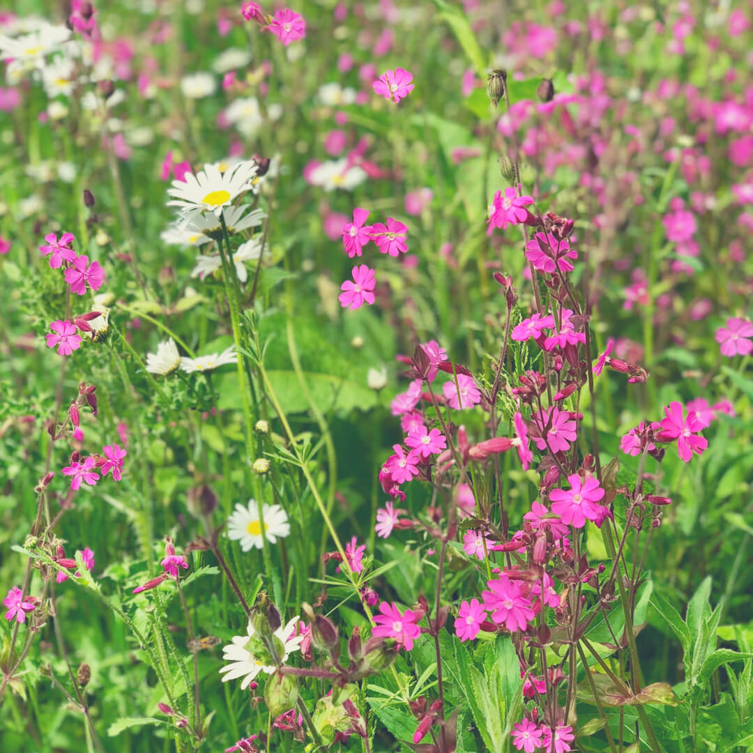 Pink and white wild flowers in a field