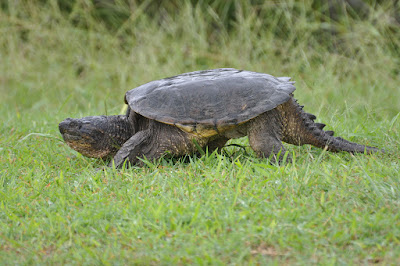 Common Snapping Turtle CST
