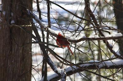 back-lit cardinal male