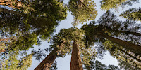 Giant sequoias in Sequoia National Park. (Credit: Tuxyso/Wikimedia) Click to Enlarge.