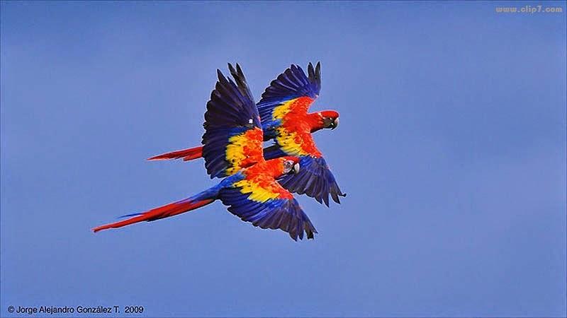 Fotografia coloridas aves en vuelo