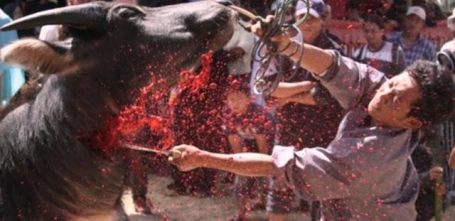 Tradisi Menebas Leher Kerbau, Pada Acara Kematian Di Toraja