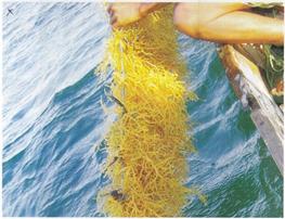 Menangani Rumput Laut Hasil Panen