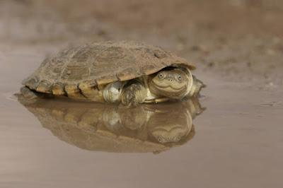 African Helmeted Turtle Si Kura-Kura Berwajah Senyum