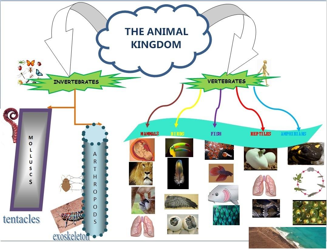 Image of: Poster The Animal Kingdom Mindmap Seneca School Year Science English Seneca School Year Science English The Animal Kingdom Mindmap