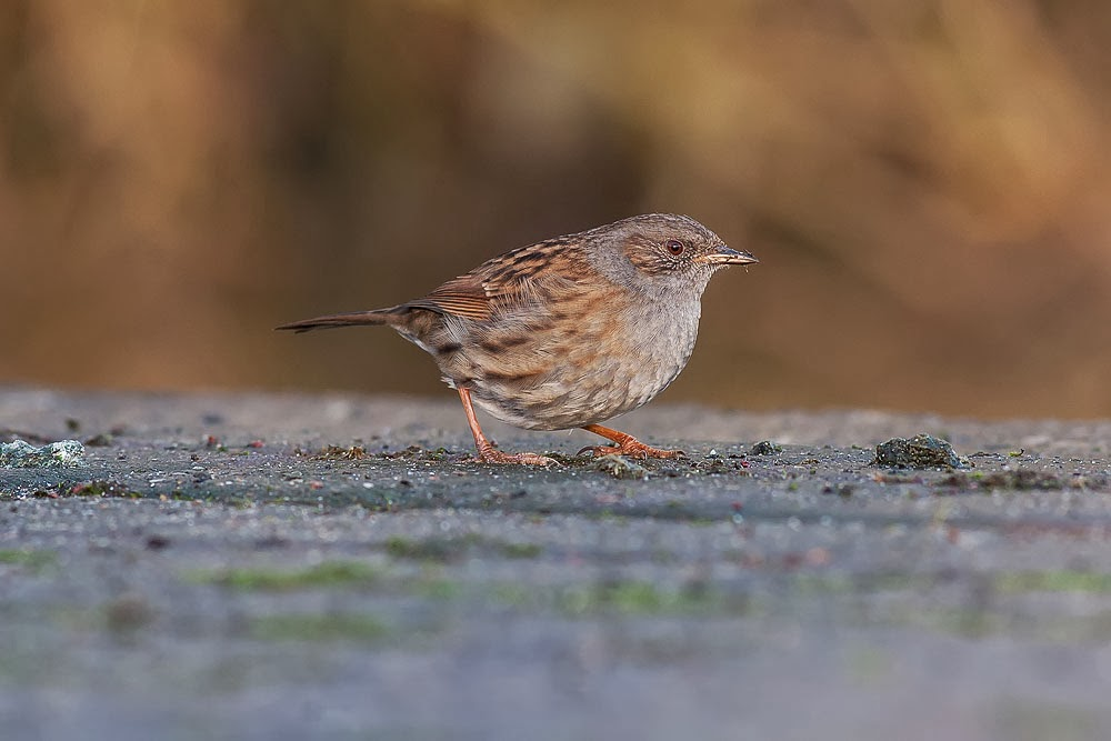 Dunnock (Hedge accentor) feeding on scattered seed