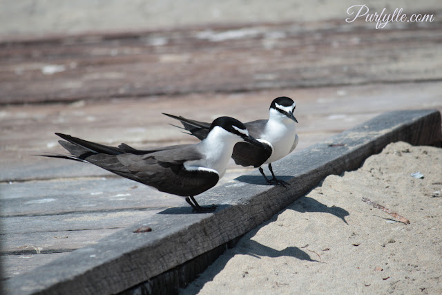 bridle terns at Penguin Island jetty