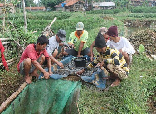 Pemanenan Ikan Patin
