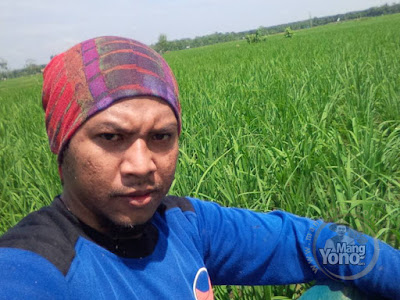 FOTO 1:  Tanaman padi Trisakti Pak Eko Umur 40 HST    di sawah Pringsewu, Lampung