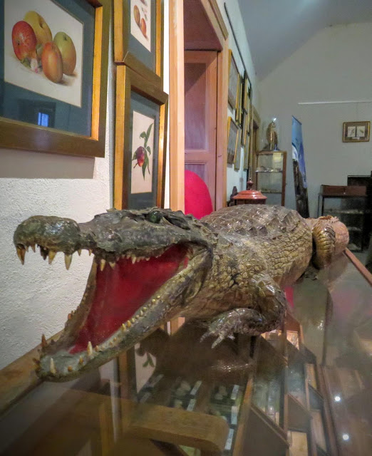 Stuffed alligator in Lissadell House in County Sligo, Ireland
