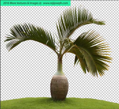PNG palm tree plant 00001