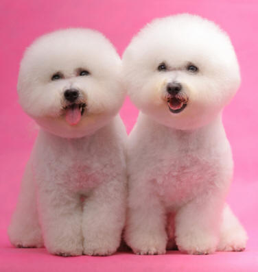 Dog Breed Profiles Bichon Frise Dog Breed