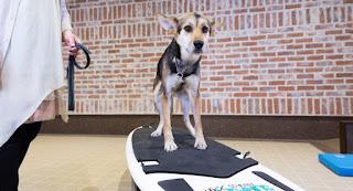 cães exercício com surf