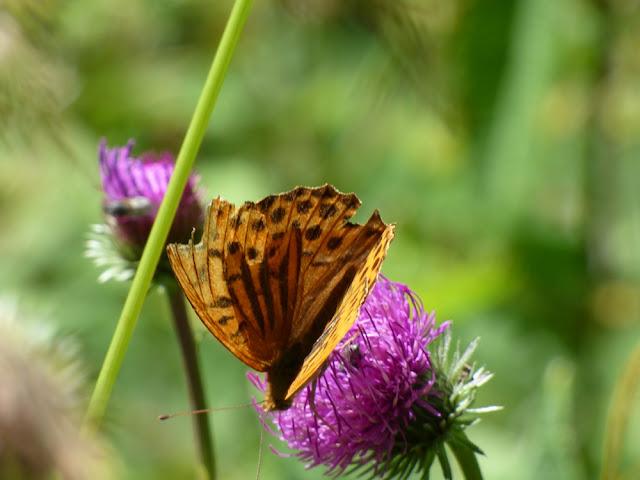 Ciulin Carduus Mutans, floare in Valea Horoabei, Bucegi