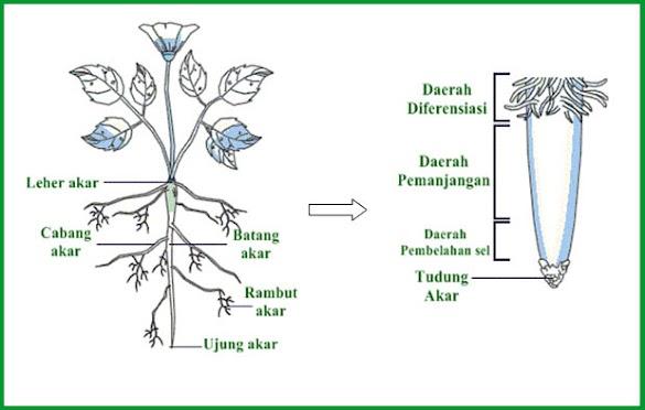 Mengenal Bagian-Bagian Akar secara Anatomi dan Morfologi