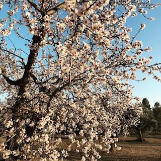 Valdeltormo, La Vall, galería fotos, Iván Sancho, almendro en flor, amelé florit