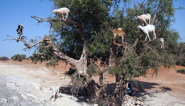 Goats use their climbing skills to find their food