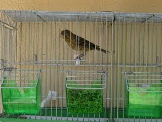 Canários Carmelitas - O Homem e as aves - Canários