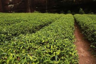 Krzew herbaciany