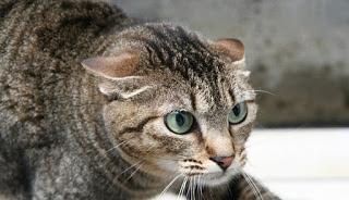 gato-ataque-defensiva-orejas-dobladas
