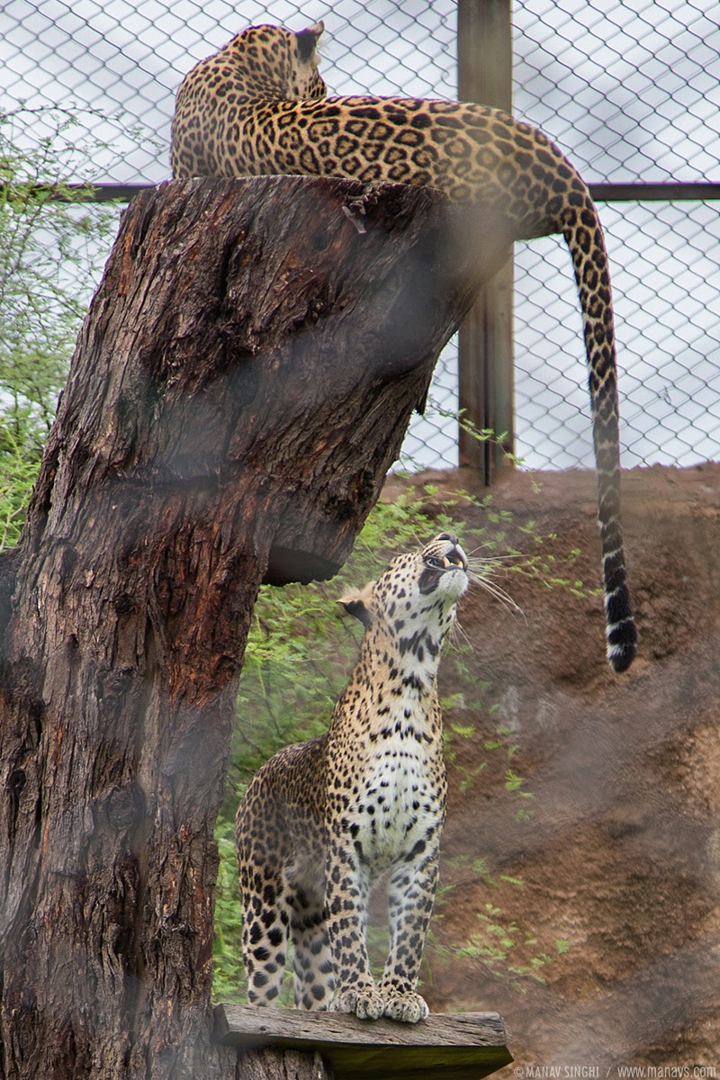 2 Leopards at Nahargarh Biological Park Jaipur Rajasthan