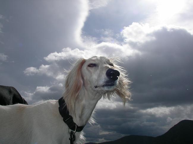 Czipowanie psa