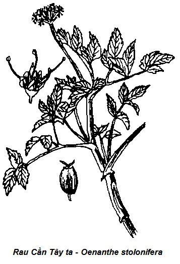 Hình vẽ Rau Cần Tây ta-Oenanthe stolonifera-Nguyên liệu làm thuốc Hạ Huyết Áp