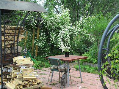 как цветет чубушник