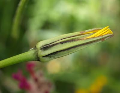 Flor amarilla con largas brácteas de Tragopogonn pratensis