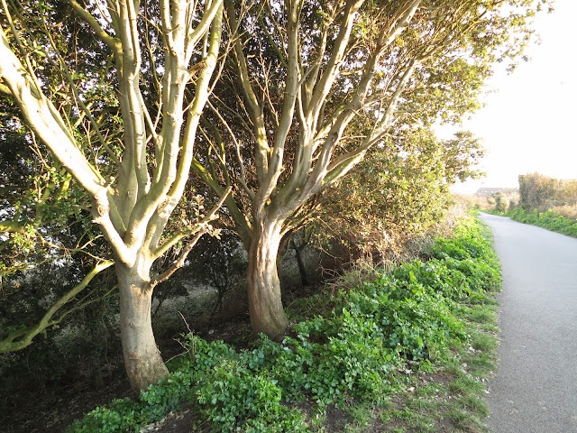 Holm Oak Trees (Quercus Ilex) beside path with young alexanders at their feet.