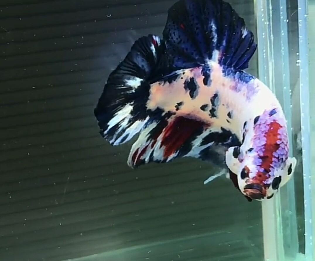 Ikan Cupang Giant Terbesar Dan Terpanjang di Dunia ...