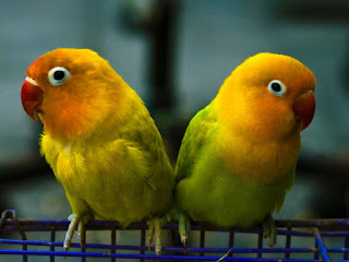 Komunitas Burung Lovebird