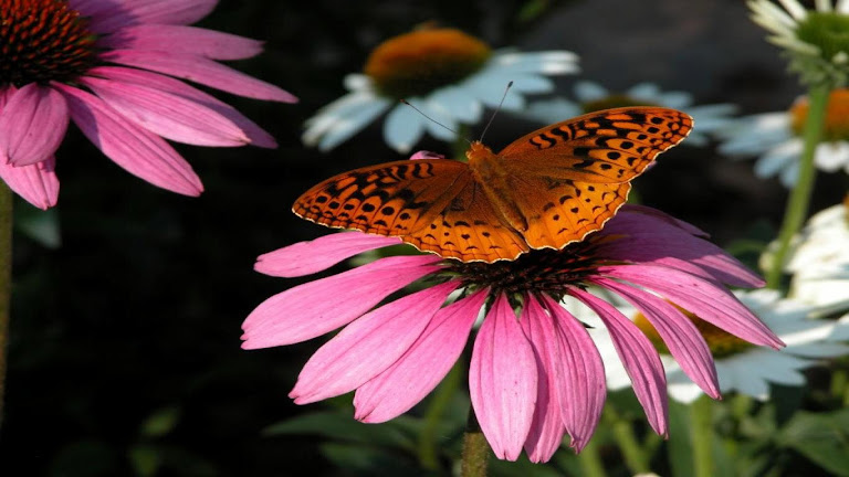 Butterfly HD Wallpaper 10