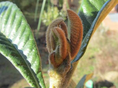 Fogliolina Eriobotrya japonica