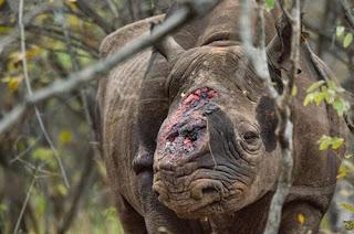 Ngưng sử dụng sừng tê giác để bảo vệ loài động vật này