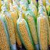 Senador propone que México deje de importar maíz de EU.