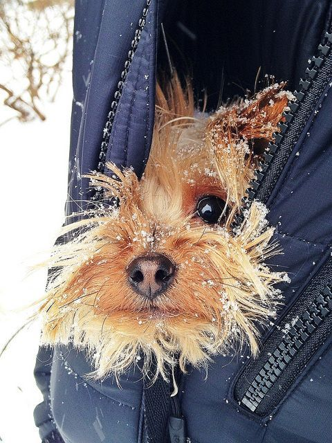 Beautiful winter scene with Yorkie dog peeking out of jacket in snow