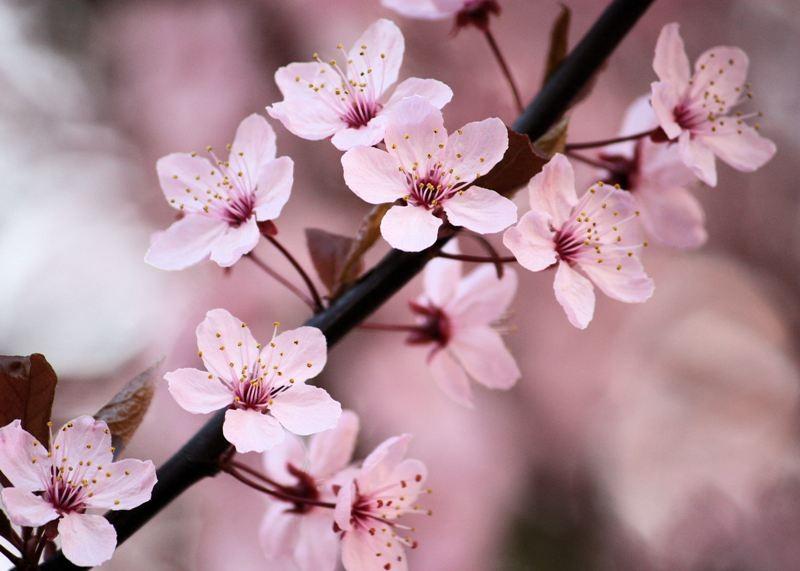 Por qué a los japoneses les gusta tanto las flores de cerezo