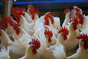 ayam ras afkir