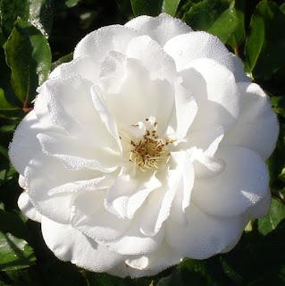 truskot, floribunda, iceberg, rose