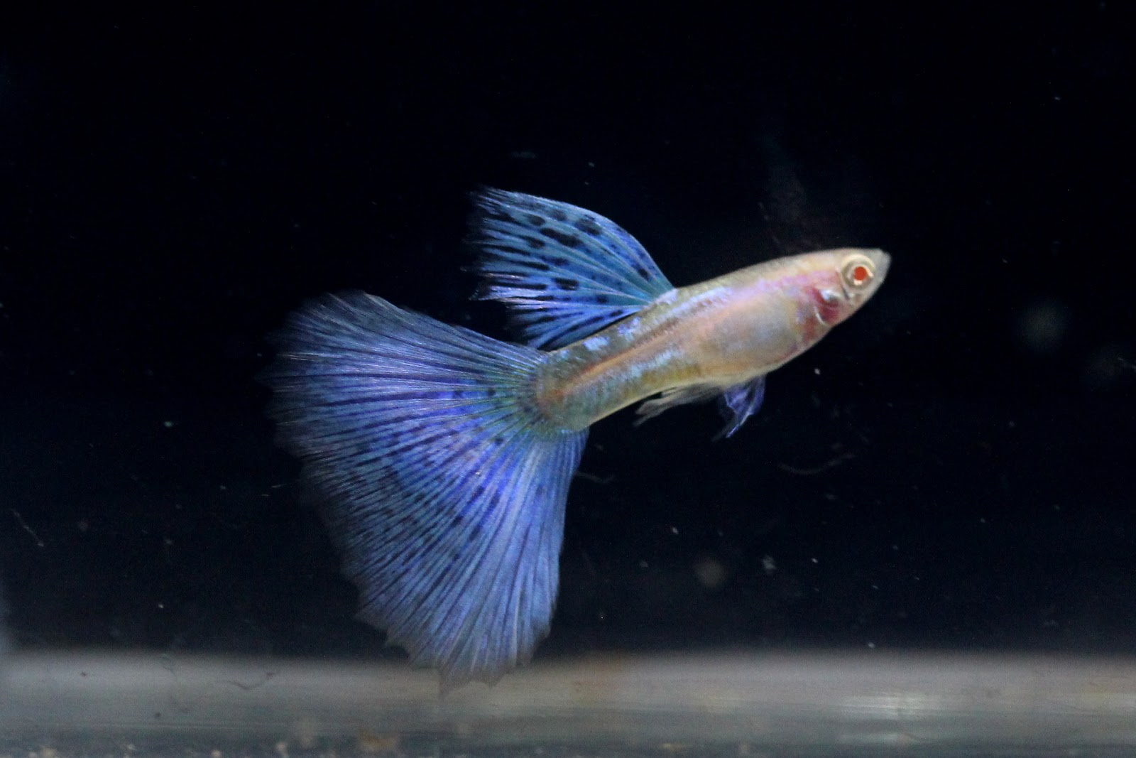 Guppy albino blue grass sale guppy fish indonesia jual guppy albino blue grass harga guppy albino blue grass toko guppy albino blue nvjuhfo Images