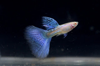 Jual Guppy Albino Blue Grass,  Harga Guppy Albino Blue Grass,  Toko Guppy Albino Blue Grass,  Diskon Guppy Albino Blue Grass,  Beli Guppy Albino Blue Grass,  Review Guppy Albino Blue Grass,  Promo Guppy Albino Blue Grass,  Spesifikasi Guppy Albino Blue Grass,  Guppy Albino Blue Grass Murah,  Guppy Albino Blue Grass Asli,  Guppy Albino Blue Grass Original,  Guppy Albino Blue Grass Jakarta,  Jenis Guppy Albino Blue Grass,  Budidaya Guppy Albino Blue Grass,  Peternak Guppy Albino Blue Grass,  Cara Merawat Guppy Albino Blue Grass,  Tips Merawat Guppy Albino Blue Grass,  Bagaimana cara merawat Guppy Albino Blue Grass,  Bagaimana mengobati Guppy Albino Blue Grass,  Ciri-Ciri Hamil Guppy Albino Blue Grass,  Kandang Guppy Albino Blue Grass,  Ternak Guppy Albino Blue Grass,  Makanan Guppy Albino Blue Grass,  Guppy Albino Blue Grass Termahal,  Adopsi Guppy Albino Blue Grass,  Jual Cepat Guppy Albino Blue Grass,  Guppy Albino Blue Grass  Jakarta,  Guppy Albino Blue Grass  Bandung,  Guppy Albino Blue Grass  Medan,  Guppy Albino Blue Grass  Bali,  Guppy Albino Blue Grass  Makassar,  Guppy Albino Blue Grass  Jambi,  Guppy Albino Blue Grass  Pekanbaru,  Guppy Albino Blue Grass  Palembang,  Guppy Albino Blue Grass  Sumatera,  Guppy Albino Blue Grass  Langsa,  Guppy Albino Blue Grass  Lhokseumawe,  Guppy Albino Blue Grass  Meulaboh,  Guppy Albino Blue Grass  Sabang,  Guppy Albino Blue Grass  Subulussalam,  Guppy Albino Blue Grass  Denpasar,  Guppy Albino Blue Grass  Pangkalpinang,  Guppy Albino Blue Grass  Cilegon,  Guppy Albino Blue Grass  Serang,  Guppy Albino Blue Grass  Tangerang Selatan,  Guppy Albino Blue Grass  Tangerang,  Guppy Albino Blue Grass  Bengkulu,  Guppy Albino Blue Grass  Gorontalo,  Guppy Albino Blue Grass  guppy,  Guppy Albino Blue Grass  tropical fish,  Guppy Albino Blue Grass  aquarium fish,  Guppy Albino Blue Grass  bubble guppies games,  Guppy Albino Blue Grass  guppy fish,  Guppy Albino Blue Grass  bubble guppies videos,  Guppy Albino Blue Grass  bubble guppies episodes,  Guppy Albino Blue Grass  bubble guppies full episodes,  Guppy Albino Blue Grass  super guppy,  Guppy Albino Blue Grass  bubble guppies cast,  Guppy Albino Blue Grass  aquarium online,  Guppy Albino Blue Grass  bubble guppies songs,  Guppy Albino Blue Grass  tetra aquarium,  Guppy Albino Blue Grass  guppies for sale,  Guppy Albino Blue Grass  pregnant guppy,  Guppy Albino Blue Grass  bubble guppies characters,  Guppy Albino Blue Grass  bubble guppy,  Guppy Albino Blue Grass  bubble guppies names,  Guppy Albino Blue Grass  guppies fish,  Guppy Albino Blue Grass  guppy breeding,  Guppy Albino Blue Grass  breeding guppies,  Guppy Albino Blue Grass  bubble guppie,  Guppy Albino Blue Grass  nick jr bubble guppies,  Guppy Albino Blue Grass  bubble guppies coloring pages,  Guppy Albino Blue Grass  bubble guppies video,  Guppy Albino Blue Grass  bubble guppy games,  Guppy Albino Blue Grass  guppy aquarium,  Guppy Albino Blue Grass  guppy care,  Guppy Albino Blue Grass  baby guppies,  Guppy Albino Blue Grass  design aquarium,  Guppy Albino Blue Grass  how to breed guppies,  Guppy Albino Blue Grass  endlers guppy,  Guppy Albino Blue Grass  bubble guppies wiki,  Guppy Albino Blue Grass  bubble guppies game,  Guppy Albino Blue Grass  guppies care,  Guppy Albino Blue Grass  guppy fry,  Guppy Albino Blue Grass  male guppies,  Guppy Albino Blue Grass  buble guppies,  Guppy Albino Blue Grass  guppy fish care,  Guppy Albino Blue Grass  female guppies,  Guppy Albino Blue Grass  female guppy,  Guppy Albino Blue Grass  guppy tank,  Guppy Albino Blue Grass  types of guppies,  Guppy Albino Blue Grass  online aquarium,  Guppy Albino Blue Grass  guppies aquarium,  Guppy Albino Blue Grass  pregnant guppies,  Guppy Albino Blue Grass  guppy giving birth,  Guppy Albino Blue Grass  what do guppies eat,  Guppy Albino Blue Grass  guppy life span,  Guppy Albino Blue Grass  guppy pond,  Guppy Albino Blue Grass  guppy grass,  Guppy Albino Blue Grass  guppies breeding,  Guppy Albino Blue Grass  aquarium guppy,  Guppy Albino Blue Grass  guppies giving birth,  Guppy Albino Blue Grass  bubble guppies pictures,  Guppy Albino Blue Grass  bubble guppies show,  Guppy Albino Blue Grass  male guppy,  Guppy Albino Blue Grass  guppy fish for sale,  Guppy Albino Blue Grass  pregnant guppy fish,  Guppy Albino Blue Grass  endler guppies,  Guppy Albino Blue Grass  guppy babies,  Guppy Albino Blue Grass  the bubble guppies,  Guppy Albino Blue Grass  bubble guppies images,  Guppy Albino Blue Grass  bubble guppies bubble puppy,  Guppy Albino Blue Grass  guppy food,  Guppy Albino Blue Grass  ferplast aquarium,  Guppy Albino Blue Grass  guppy temperature,  Guppy Albino Blue Grass  the binding isaac,  Guppy Albino Blue Grass  guppy tail,  Guppy Albino Blue Grass  the rebirth of isaac,  Guppy Albino Blue Grass  the binding of isaac rebirth guppy,  Guppy Albino Blue Grass  isaac the game,  Guppy Albino Blue Grass  guppie fish,  Guppy Albino Blue Grass  guppy fish breeding,  Guppy Albino Blue Grass  guppy for sale,  Guppy Albino Blue Grass  guppy tank mates,  Guppy Albino Blue Grass  aquarium shop online,  Guppy Albino Blue Grass  guppy gestation,  Guppy Albino Blue Grass  the binding of isaac guppy,  Guppy Albino Blue Grass  keeping guppies,  Guppy Albino Blue Grass  guppy definition,  Guppy Albino Blue Grass  guppy meaning,  Guppy Albino Blue Grass  guppy breathing,  Guppy Albino Blue Grass  fish tropical,  Guppy Albino Blue Grass  endlers guppies,  Guppy Albino Blue Grass  baby guppy,  Guppy Albino Blue Grass  nickelodeon bubble guppies,  Guppy Albino Blue Grass  guppy fish tank,  Guppy Albino Blue Grass  guppy types,  Guppy Albino Blue Grass  guppy fish types,  Guppy Albino Blue Grass  guppy diseases,  Guppy Albino Blue Grass  the binding of isaac 2,  Guppy Albino Blue Grass  isaac the binding,  Guppy Albino Blue Grass  wild guppies,  Guppy Albino Blue Grass  wild guppy,  Guppy Albino Blue Grass  fantail guppies,  Guppy Albino Blue Grass  guppy pregnancy,  Guppy Albino Blue Grass  lyretail guppy,  Guppy Albino Blue Grass  pregnant guppy stages,  Guppy Albino Blue Grass  guppy pregnant,  Guppy Albino Blue Grass  male and female guppies,  Guppy Albino Blue Grass  bubble guppys,  Guppy Albino Blue Grass  guppy birth,  Guppy Albino Blue Grass  do guppies need a heater,  Guppy Albino Blue Grass  pictures of guppies,  Guppy Albino Blue Grass  guppy fish life span,  Guppy Albino Blue Grass  guppy water temperature,  Guppy Albino Blue Grass  show guppies,  Guppy Albino Blue Grass  black guppy,  Guppy Albino Blue Grass  red guppy,  Guppy Albino Blue Grass  binding isaac wiki,  Guppy Albino Blue Grass  binding of isaac 2,  Guppy Albino Blue Grass  moscow guppy,  Guppy Albino Blue Grass  guppy forum,  Guppy Albino Blue Grass  guppies online,  Guppy Albino Blue Grass  fantail guppy,  Guppy Albino Blue Grass  yellow guppy,  Guppy Albino Blue Grass  snakeskin guppy,  Guppy Albino Blue Grass  guppy fry growth chart,  Guppy Albino Blue Grass  guppy fish food,  Guppy Albino Blue Grass  temperature for guppies,  Guppy Albino Blue Grass  water temperature for guppies,  Guppy Albino Blue Grass  guppy games,  Guppy Albino Blue Grass  black moscow guppy,  Guppy Albino Blue Grass  full red guppy,  Guppy Albino Blue Grass  blue moscow guppy,  Guppy Albino Blue Grass  game isaac,  Guppy Albino Blue Grass  male guppy fish,  Guppy Albino Blue Grass  guppy varieties,  Guppy Albino Blue Grass  albino guppy,  Guppy Albino Blue Grass  guppy pregnancy stages,  Guppy Albino Blue Grass  tequila sunrise guppy,  Guppy Albino Blue Grass  guppy fin rot,  Guppy Albino Blue Grass  guppy genetics,  Guppy Albino Blue Grass  pink guppy,  Guppy Albino Blue Grass  the guppy,  Guppy Albino Blue Grass  highland guppy,  Guppy Albino Blue Grass  guppy breeding tank,  Guppy Albino Blue Grass  guppy breeds,  Guppy Albino Blue Grass  show guppies for sale,  Guppy Albino Blue Grass  guppies for sale uk,  Guppy Albino Blue Grass  is my guppy pregnant,  Guppy Albino Blue Grass  guppies having babies,  Guppy Albino Blue Grass  guppy female,  Guppy Albino Blue Grass  guppy fry care,  Guppy Albino Blue Grass  do guppies need a filter,  Guppy Albino Blue Grass  do guppies eat their babies,  Guppy Albino Blue Grass  do guppies sleep,  Guppy Albino Blue Grass  aquarium 40 liter,  Guppy Albino Blue Grass  guppy game,  Guppy Albino Blue Grass  neon guppies,  Guppy Albino Blue Grass  neon guppy,  Guppy Albino Blue Grass  guppy neon,  Guppy Albino Blue Grass  isaac of binding,  Guppy Albino Blue Grass  moscow blue guppy,  Guppy Albino Blue Grass  guppy tail rot,  Guppy Albino Blue Grass  isaac the rebirth,  Guppy Albino Blue Grass  fish guppies,  Guppy Albino Blue Grass  guppies dying,  Guppy Albino Blue Grass  guppy species,  Guppy Albino Blue Grass  guppy gravid spot,  Guppy Albino Blue Grass  the of isaac,  Guppy Albino Blue Grass  breeding guppies for beginners,  Guppy Albino Blue Grass  guppy breeding cycle,  Guppy Albino Blue Grass  female guppies for sale,  Guppy Albino Blue Grass  guppies pregnant,  Guppy Albino Blue Grass  pregnant female guppy,  Guppy Albino Blue Grass  caring for guppies,  Guppy Albino Blue Grass  guppies babies,  Guppy Albino Blue Grass  guppy fry growth,  Guppy Albino Blue Grass  guppy tank setup,  Guppy Albino Blue Grass  guppy fish giving birth,  Guppy Albino Blue Grass  guppy fry food,  Guppy Albino Blue Grass  different types of guppies,  Guppy Albino Blue Grass  types of guppy,  Guppy Albino Blue Grass  guppy pictures,  Guppy Albino Blue Grass  aquarium voor beginners,  Guppy Albino Blue Grass  guppy life cycle,  Guppy Albino Blue Grass  guppies temperature,  Guppy Albino Blue Grass  guppy gestation period,  Guppy Albino Blue Grass  the binding of the isaac,  Guppy Albino Blue Grass  feeding guppies,  Guppy Albino Blue Grass  guppi fish,  Guppy Albino Blue Grass  guppy fish facts,  Guppy Albino Blue Grass  guppy breeders,  Guppy Albino Blue Grass  guppy wiki,  Guppy Albino Blue Grass  freshwater guppies,  Guppy Albino Blue Grass  rare guppies,  Guppy Albino Blue Grass  raising guppies,  Guppy Albino Blue Grass  guppy colors,  Guppy Albino Blue Grass  guppy strains,  Guppy Albino Blue Grass  guppy size,  Guppy Albino Blue Grass  turquoise guppy,  Guppy Albino Blue Grass  leopard guppy,  Guppy Albino Blue Grass  guppy love,  Guppy Albino Blue Grass  guppy images,  Guppy Albino Blue Grass  guppy plant,  Guppy Albino Blue Grass  water temp for guppies,  Guppy Albino Blue Grass  guppy breeding setup,  Guppy Albino Blue Grass  guppies for sale online,  Guppy Albino Blue Grass  guppys aquarium,  Guppy Albino Blue Grass  guppy fish pregnant,  Guppy Albino Blue Grass  guppy care sheet,  Guppy Albino Blue Grass  endler guppy hybrid,  Guppy Albino Blue Grass  baby guppy fish,  Guppy Albino Blue Grass  female guppy fish,  Guppy Albino Blue Grass  bubble guppies nickelodeon,  Guppy Albino Blue Grass  guppy tanks,  Guppy Albino Blue Grass  guppies food,  Guppy Albino Blue Grass  best food for guppies,  Guppy Albino Blue Grass  tropical guppies,  Guppy Albino Blue Grass  black guppy fish,  Guppy Albino Blue Grass  black moscow guppies,  Guppy Albino Blue Grass  gestation period for guppies,  Guppy Albino Blue Grass  blue neon guppy,  Guppy Albino Blue Grass  red mosaic guppy,  Guppy Albino Blue Grass  betta and guppies,  Guppy Albino Blue Grass  guppy fishes,  Guppy Albino Blue Grass  fish compatible with guppies,  Guppy Albino Blue Grass  what is a guppy fish,  Guppy Albino Blue Grass  guppy s,  Guppy Albino Blue Grass  guppy guppy,  Guppy Albino Blue Grass  guppy facts,  Guppy Albino Blue Grass  guppy behavior,  Guppy Albino Blue Grass  green guppy,  Guppy Albino Blue Grass  white guppy,  Guppy Albino Blue Grass  guppy dropsy,  Guppy Albino Blue Grass  purple guppy,  Guppy Albino Blue Grass  bloated guppy,  Guppy Albino Blue Grass  angelfish and guppies,  Guppy Albino Blue Grass  fin rot guppy,  Guppy Albino Blue Grass  guppies keep dying,  Guppy Albino Blue Grass  mollies and guppies,  Guppy Albino Blue Grass  stages of guppy pregnancy,  Guppy Albino Blue Grass  south african guppies,  Guppy Albino Blue Grass  mosaic guppy,  Guppy Albino Blue Grass  guppy cartoon,  Guppy Albino Blue Grass  breeding guppy,  Guppy Albino Blue Grass  aquarium guppies,  Guppy Albino Blue Grass  pregnant guppie,  Guppy Albino Blue Grass  female guppy pregnant,  Guppy Albino Blue Grass  guppy tank size,  Guppy Albino Blue Grass  guppies tank mates,  Guppy Albino Blue Grass  do guppies give live birth,  Guppy Albino Blue Grass  buy guppies,  Guppy Albino Blue Grass  food for guppies,  Guppy Albino Blue Grass  types of guppy fish,  Guppy Albino Blue Grass  guppy disease,  Guppy Albino Blue Grass  tropical fish guppies,  Guppy Albino Blue Grass  black guppies,  Guppy Albino Blue Grass  guppy black,  Guppy Albino Blue Grass  red guppies,  Guppy Albino Blue Grass  red guppy fish,  Guppy Albino Blue Grass  moscow guppies,  Guppy Albino Blue Grass  guppies and bettas,  Guppy Albino Blue Grass  guppy fish information,  Guppy Albino Blue Grass  guppy fish images,  Guppy Albino Blue Grass  all about guppies,  Guppy Albino Blue Grass  guppy breeder,  Guppy Albino Blue Grass  guppys online,  Guppy Albino Blue Grass  guppy poecilia reticulata,  Guppy Albino Blue Grass  guppy a,  Guppy Albino Blue Grass  purple guppies,  Guppy Albino Blue Grass  beautiful guppies,  Guppy Albino Blue Grass  guppy pdf,  Guppy Albino Blue Grass  guppy swimming vertically,  Guppy Albino Blue Grass  guppy names,  Guppy Albino Blue Grass  yellow guppies,  Guppy Albino Blue Grass  male guppies fighting,  Guppy Albino Blue Grass  guppies and tetras,  Guppy Albino Blue Grass  saltwater guppies,  Guppy Albino Blue Grass  guppies and mollies,  Guppy Albino Blue Grass  the guppies,  Guppy Albino Blue Grass  breeding guppies in community tank,  Guppy Albino Blue Grass  breed guppies,  Guppy Albino Blue Grass  live guppies for sale,  Guppy Albino Blue Grass  guppies fish for sale,  Guppy Albino Blue Grass  breeding guppies for profit,  Guppy Albino Blue Grass  guppies aquarium products,  Guppy Albino Blue Grass  taking care of guppies,  Guppy Albino Blue Grass  guppies fish care,  Guppy Albino Blue Grass  john endler guppies,  Guppy Albino Blue Grass  guppy fish babies,  Guppy Albino Blue Grass  male and female guppy,  Guppy Albino Blue Grass  guppy fry development,  Guppy Albino Blue Grass  guppy fry stages,  Guppy Albino Blue Grass  guppies fish tank,  Guppy Albino Blue Grass  guppies tank,  Guppy Albino Blue Grass  guppy fry tank,  Guppy Albino Blue Grass  female guppy giving birth,  Guppy Albino Blue Grass  pregnant guppy giving birth,  Guppy Albino Blue Grass  guppies birth,  Guppy Albino Blue Grass  guppy give birth,  Guppy Albino Blue Grass  guppies types,  Guppy Albino Blue Grass  how much do guppies cost,  Guppy Albino Blue Grass  do guppies eat algae,  Guppy Albino Blue Grass  guppy diseases pictures,  Guppy Albino Blue Grass  pregnant guppy pictures,  Guppy Albino Blue Grass  pictures of guppy fish,  Guppy Albino Blue Grass  guppy fish diseases,  Guppy Albino Blue Grass  show guppy,  Guppy Albino Blue Grass  guppy tropical fish,  Guppy Albino Blue Grass  guppies tropical fish,  Guppy Albino Blue Grass  half black guppy,  Guppy Albino Blue Grass  neon blue guppy,  Guppy Albino Blue Grass  guppies and neon tetras,  Guppy Albino Blue Grass  binding of the isaac,  Guppy Albino Blue Grass  moscow blue guppies,  Guppy Albino Blue Grass  of isaac game,  Guppy Albino Blue Grass  feeding guppy fry,  Guppy Albino Blue Grass  game the binding of isaac,  Guppy Albino Blue Grass  the binding of isaac the game,  Guppy Albino Blue Grass  blue guppy fish,  Guppy Albino Blue Grass  fish that can live with guppies,  Guppy Albino Blue Grass  images of guppy fish,  Guppy Albino Blue Grass  guppy online,  Guppy Albino Blue Grass  albino guppies,  Guppy Albino Blue Grass  pics of guppies,  Guppy Albino Blue Grass  my guppies keep dying,  Guppy Albino Blue Grass  guppy colours,  Guppy Albino Blue Grass  guppy growth chart,  Guppy Albino Blue Grass  golden guppy,  Guppy Albino Blue Grass  colorful guppies,  Guppy Albino Blue Grass  columnaris guppy,  Guppy Albino Blue Grass  guppy diet,  Guppy Albino Blue Grass  dragon guppy,  Guppy Albino Blue Grass  atfg guppy,  Guppy Albino Blue Grass  blue diamond guppy,  Guppy Albino Blue Grass  gold guppy,  Guppy Albino Blue Grass  guppy scientific name,  Guppy Albino Blue Grass  guppies fighting,  Guppy Albino Blue Grass  pingu guppy,  Guppy Albino Blue Grass  trinidadian guppies,  Guppy Albino Blue Grass  dropsy guppy,  Guppy Albino Blue Grass  fat guppy,  Guppy Albino Blue Grass  guppy guppies,  Guppy Albino Blue Grass  guppy singapore,  Guppy Albino Blue Grass  sunset guppy,  Guppy Albino Blue Grass  guppy natural habitat,  Guppy Albino Blue Grass  guppies breeding cycle,  Guppy Albino Blue Grass  breeding tank for guppies,  Guppy Albino Blue Grass  guppy breeding guide,  Guppy Albino Blue Grass  guppies fish breeding,  Guppy Albino Blue Grass  guppy breeding trap,  Guppy Albino Blue Grass  guppy breeding tank setup,  Guppy Albino Blue Grass  guppy sale,  Guppy Albino Blue Grass  rare guppies for sale,  Guppy Albino Blue Grass  endler guppies for sale,  Guppy Albino Blue Grass  aquarium de guppy,  Guppy Albino Blue Grass  pregnant guppy behavior,  Guppy Albino Blue Grass  guppie care,  Guppy Albino Blue Grass  guppy care guide,  Guppy Albino Blue Grass  baby guppy care,  Guppy Albino Blue Grass  guppy having babies,  Guppy Albino Blue Grass  guppies male or female,  Guppy Albino Blue Grass  guppies female,  Guppy Albino Blue Grass  guppy fish female,  Guppy Albino Blue Grass  guppies fry,  Guppy Albino Blue Grass  raising guppy fry,  Guppy Albino Blue Grass  guppy birth signs,  Guppy Albino Blue Grass  guppies live birth,  Guppy Albino Blue Grass  guppy fish pictures,  Guppy Albino Blue Grass  guppies pictures,  Guppy Albino Blue Grass  female guppy pictures,  Guppy Albino Blue Grass  life cycle of a guppy,  Guppy Albino Blue Grass  guppies water temperature,  Guppy Albino Blue Grass  tropical fish guppy,  Guppy Albino Blue Grass  tropical guppy,  Guppy Albino Blue Grass  moscow black guppy,  Guppy Albino Blue Grass  neon tetras and guppies,  Guppy Albino Blue Grass  guppy tails,  Guppy Albino Blue Grass  guppy feeding,  Guppy Albino Blue Grass  bettas and guppies,  Guppy Albino Blue Grass  guppies and betta,  Guppy Albino Blue Grass  can guppies live with bettas,  Guppy Albino Blue Grass  guppy fish price,  Guppy Albino Blue Grass  guppy fish varieties,  Guppy Albino Blue Grass  wild guppy fish,  Guppy Albino Blue Grass  guppys fish,  Guppy Albino Blue Grass  guppies information,  Guppy Albino Blue Grass  free guppies,  Guppy Albino Blue Grass  blue glass guppy,  Guppy Albino Blue Grass  guppy d,  Guppy Albino Blue Grass  pink guppies,  Guppy Albino Blue Grass  guppy behaviour,  Guppy Albino Blue Grass  common guppy,  Guppy Albino Blue Grass  ribbon guppy,  Guppy Albino Blue Grass  kinds of guppies,  Guppy Albino Blue Grass  gonopodium guppy,  Guppy Albino Blue Grass  rare guppy,  Guppy Albino Blue Grass  guppy compatibility,  Guppy Albino Blue Grass  pretty guppies,  Guppy Albino Blue Grass  snakeskin guppies,  Guppy Albino Blue Grass  guppy anatomy,  Guppy Albino Blue Grass  green guppies,  Guppy Albino Blue Grass  guppies in the wild,  Guppy Albino Blue Grass  guppy growth,  Guppy Albino Blue Grass  guppy water temp,  Guppy Albino Blue Grass  guppy swim bladder,  Guppy Albino Blue Grass  german yellow guppy,  Guppy Albino Blue Grass  guppy videos,  Guppy Albino Blue Grass  cartoon guppy,  Guppy Albino Blue Grass  guppy not eating,  Guppy Albino Blue Grass  exotic guppy,  Guppy Albino Blue Grass  breeding guppys,  Guppy Albino Blue Grass  breeding guppy fish,  Guppy Albino Blue Grass  guppies for sale cheap,  Guppy Albino Blue Grass  guppy breed,  Guppy Albino Blue Grass  cheap guppies for sale,  Guppy Albino Blue Grass  wild guppies for sale,  Guppy Albino Blue Grass  guppys for sale,  Guppy Albino Blue Grass  baby guppies for sale,  Guppy Albino Blue Grass  guppy fry for sale,  Guppy Albino Blue Grass  guppy fish aquarium,  Guppy Albino Blue Grass  aquarium fish guppy,  Guppy Albino Blue Grass  care for guppies,  Guppy Albino Blue Grass  bubble guppies nick,  Guppy Albino Blue Grass  nick bubble guppies,  Guppy Albino Blue Grass  guppie fry,  Guppy Albino Blue Grass  caring for guppy fry,  Guppy Albino Blue Grass  guppy fish tanks,  Guppy Albino Blue Grass  female guppies giving birth,  Guppy Albino Blue Grass  where to buy guppies,  Guppy Albino Blue Grass  fish food for guppies,  Guppy Albino Blue Grass  pictures of pregnant guppies,  Guppy Albino Blue Grass  albino red guppy,  Guppy Albino Blue Grass  moscow green guppy,  Guppy Albino Blue Grass  purple moscow guppies,  Guppy Albino Blue Grass  isaac of rebirth,  Guppy Albino Blue Grass  feeding baby guppies,  Guppy Albino Blue Grass  guppy photo,  Guppy Albino Blue Grass  game binding of isaac,  Guppy Albino Blue Grass  a guppy fish,  Guppy Albino Blue Grass  compatible fish with guppies,  Guppy Albino Blue Grass  live guppies,  Guppy Albino Blue Grass  poecilia reticulata guppy,  Guppy Albino Blue Grass  exotic guppies,  Guppy Albino Blue Grass  guppy price,  Guppy Albino Blue Grass  guppy video,  Guppy Albino Blue Grass  guppy wallpaper,  Guppy Albino Blue Grass  white guppies,  Guppy Albino Blue Grass  lyretail guppies,  Guppy Albino Blue Grass  small guppies,  Guppy Albino Blue Grass  guppy mouth,  Guppy Albino Blue Grass  blonde guppy,  Guppy Albino Blue Grass  peacock guppy,  Guppy Albino Blue Grass  looking after guppies,  Guppy Albino Blue Grass  guppy bent spine,  Guppy Albino Blue Grass  plants for guppies,  Guppy Albino Blue Grass  guppy predators,  Guppy Albino Blue Grass  beautiful guppy,  Guppy Albino Blue Grass  guppy eyes,  Guppy Albino Blue Grass  guppy gonopodium,  Guppy Albino Blue Grass  singapore guppy,  Guppy Albino Blue Grass  dropsy in guppies,  Guppy Albino Blue Grass  guppy fungus,  Guppy Albino Blue Grass  gubbi fish,  Guppy Albino Blue Grass  selective breeding guppies,  Guppy Albino Blue Grass  breeding mollies and guppies,  Guppy Albino Blue Grass  breeds of guppies,  Guppy Albino Blue Grass  guppies sale,  Guppy Albino Blue Grass  guppy breeding net,  Guppy Albino Blue Grass  rare guppy breeds,  Guppy Albino Blue Grass  guppie breeding,  Guppy Albino Blue Grass  albino guppies for sale,  Guppy Albino Blue Grass  blue guppies for sale,  Guppy Albino Blue Grass  pregnant guppies for sale,  Guppy Albino Blue Grass  guppy aquariums,  Guppy Albino Blue Grass  aquarium a guppy,  Guppy Albino Blue Grass  care of guppies,  Guppy Albino Blue Grass  baby guppies care,  Guppy Albino Blue Grass  guppy baby fish,  Guppy Albino Blue Grass  guppy male female,  Guppy Albino Blue Grass  male female guppies,  Guppy Albino Blue Grass  bubble guppies on nick jr,  Guppy Albino Blue Grass  guppy breeder tank,  Guppy Albino Blue Grass  buy guppy fish,  Guppy Albino Blue Grass  baby guppy food,  Guppy Albino Blue Grass  type of guppies,  Guppy Albino Blue Grass  do guppies need air pump,  Guppy Albino Blue Grass  pictures of guppies fish,  Guppy Albino Blue Grass  picture of guppies,  Guppy Albino Blue Grass  female guppies pictures,  Guppy Albino Blue Grass  guppy picture,  Guppy Albino Blue Grass  guppies life span,  Guppy Albino Blue Grass  life span of guppies,  Guppy Albino Blue Grass  guppy life expectancy,  Guppy Albino Blue Grass  show quality guppies,  Guppy Albino Blue Grass  breeding show guppies,  Guppy Albino Blue Grass  tropical guppy fish,  Guppy Albino Blue Grass  guppy fish game,  Guppy Albino Blue Grass  guppies gestation period,  Guppy Albino Blue Grass  guppies gestation,  Guppy Albino Blue Grass  fan tail guppies,  Guppy Albino Blue Grass  fan tailed guppies,  Guppy Albino Blue Grass  dragon tail guppy,  Guppy Albino Blue Grass  the rebirth of isaac game,  Guppy Albino Blue Grass  the isaac game,  Guppy Albino Blue Grass  guppies feeding,  Guppy Albino Blue Grass  guppy photos,  Guppy Albino Blue Grass  about guppy fish,  Guppy Albino Blue Grass  yellow guppy fish,  Guppy Albino Blue Grass  guppy fish bowl,  Guppy Albino Blue Grass  selling guppies,  Guppy Albino Blue Grass  guppy pics,  Guppy Albino Blue Grass  about guppies,  Guppy Albino Blue Grass  ifga guppies,  Guppy Albino Blue Grass  taiwan guppy,  Guppy Albino Blue Grass  guppies price,  Guppy Albino Blue Grass  different kinds of guppies,  Guppy Albino Blue Grass  guppy blog,  Guppy Albino Blue Grass  guppy plants,  Guppy Albino Blue Grass  guppy green,  Guppy Albino Blue Grass  tankmates for guppies,  Guppy Albino Blue Grass  freshwater guppy,  Guppy Albino Blue Grass  tequila sunrise guppies,  Guppy Albino Blue Grass  endless guppy,  Guppy Albino Blue Grass  platies and guppies,  Guppy Albino Blue Grass  guppy parasites,  Guppy Albino Blue Grass  guppy pet,  Guppy Albino Blue Grass  guppy illness,  Guppy Albino Blue Grass  pet guppies,  Guppy Albino Blue Grass  guppy white,  Guppy Albino Blue Grass  guppies species,  Guppy Albino Blue Grass  hybrid guppies,  Guppy Albino Blue Grass  breeding tanks for guppies,  Guppy Albino Blue Grass  guppy breeding tanks,  Guppy Albino Blue Grass  guppy care and breeding,  Guppy Albino Blue Grass  breeding guppies for feeders,  Guppy Albino Blue Grass  guppy fish sale,  Guppy Albino Blue Grass  breeding guppies for sale,  Guppy Albino Blue Grass  guppy aquarium fish,  Guppy Albino Blue Grass  aquarium guppy fish,  Guppy Albino Blue Grass  guppies aquariums,  Guppy Albino Blue Grass  pregnant guppys,  Guppy Albino Blue Grass  pregnant female guppies,  Guppy Albino Blue Grass  raising baby guppies,  Guppy Albino Blue Grass  guppy fry color,  Guppy Albino Blue Grass  guppy fry size,  Guppy Albino Blue Grass  guppy birthing process,  Guppy Albino Blue Grass  buying guppies,  Guppy Albino Blue Grass  buy guppy fish online,  Guppy Albino Blue Grass  buy guppy,  Guppy Albino Blue Grass  homemade guppy food,  Guppy Albino Blue Grass  pictures of female guppies,  Guppy Albino Blue Grass  pictures of baby guppies,  Guppy Albino Blue Grass  guppies diseases,  Guppy Albino Blue Grass  guppy diseases symptoms,  Guppy Albino Blue Grass  life cycle of guppies,  Guppy Albino Blue Grass  guppy shows,  Guppy Albino Blue Grass  show guppy breeders,  Guppy Albino Blue Grass  is a guppy a tropical fish,  Guppy Albino Blue Grass  binding the isaac,  Guppy Albino Blue Grass  the of isaac game,  Guppy Albino Blue Grass  the game isaac,  Guppy Albino Blue Grass  guppy fish photos,  Guppy Albino Blue Grass  photos of guppies,  Guppy Albino Blue Grass  binding isaac game,  Guppy Albino Blue Grass  binding game,  Guppy Albino Blue Grass  guppies fishing report,  Guppy Albino Blue Grass  all about guppy fish,  Guppy Albino Blue Grass  the guppy fish,  Guppy Albino Blue Grass  how much are guppy fish,  Guppy Albino Blue Grass  is a guppy a fish,  Guppy Albino Blue Grass  guppy fish wiki,  Guppy Albino Blue Grass  guppies fish bowl,  Guppy Albino Blue Grass  cheap guppies,  Guppy Albino Blue Grass  fresh water guppies,  Guppy Albino Blue Grass  how to sell guppies,  Guppy Albino Blue Grass  pond guppies,  Guppy Albino Blue Grass  information about guppies,  Guppy Albino Blue Grass  guppy illnesses,  Guppy Albino Blue Grass  guppy hatchery,  Guppy Albino Blue Grass  guppy store,  Guppy Albino Blue Grass  guppies fin rot,  Guppy Albino Blue Grass  common guppies,  Guppy Albino Blue Grass  guppy prices,  Guppy Albino Blue Grass  guppy mouth fungus,  Guppy Albino Blue Grass  singapore guppies,  Guppy Albino Blue Grass  guppy book,  Guppy Albino Blue Grass  large guppy,  Guppy Albino Blue Grass  breading guppies,  Guppy Albino Blue Grass  malaysia guppy,  Guppy Albino Blue Grass  aggressive guppies,  Guppy Albino Blue Grass  guppies diet,  Guppy Albino Blue Grass  my guppy,  Guppy Albino Blue Grass  robert john lechmere guppy,  Guppy Albino Blue Grass  guppy breading,  Guppy Albino Blue Grass  guppy forums,  Guppy Albino Blue Grass  guppies pics,  Guppy Albino Blue Grass  guppy fin rot treatment,  Guppy Albino Blue Grass  the re-birth,  Guppy Albino Blue Grass  the binding rebirth,  Guppy Albino Blue Grass  guppies aquarium supplies,  Guppy Albino Blue Grass  aquarium mit guppys,  Guppy Albino Blue Grass  guppys im aquarium,  Guppy Albino Blue Grass  fry guppy,  Guppy Albino Blue Grass  where can i buy guppies,  Guppy Albino Blue Grass  breeding guppies for food,  Guppy Albino Blue Grass  guppy fish picture,  Guppy Albino Blue Grass  binding of isaac original,  Guppy Albino Blue Grass  the isaac of binding,  Guppy Albino Blue Grass  rebirth of isaac game,  Guppy Albino Blue Grass  game of isaac,  Guppy Albino Blue Grass  guppies photos,  Guppy Albino Blue Grass  guppy fish breeders,  Guppy Albino Blue Grass  what is guppy fish,  Guppy Albino Blue Grass  guppy water conditions,  Guppy Albino Blue Grass  german guppies,  Guppy Albino Blue Grass  laser beam guppy,  Guppy Albino Blue Grass  the binding of rebirth,  Guppy Albino Blue Grass  the binding of isaac a,  Guppy Albino Blue Grass  guppy rebirth,
