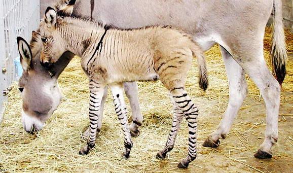 Perkawinan Zebra, Chimera Dan 18 Hewan Kawin Silang Beda Spesies Yang Berhasil Halaman 2