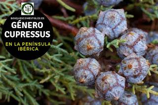 El género Crupressus, arboles o arbustos resinosos con hojas aciculares o escuamiformes