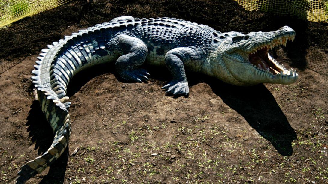 crocodile australia hd wallpaper