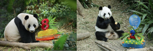 RIVER SAFARI'S GIANT PANDAS KAI KAI AND JIA JIA CELEBRATE BIRTHDAYS WITH HONEY-FLAVOURED ICE CAKES