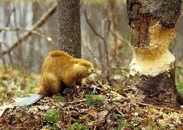 El Castor mordiendo un árbol